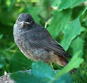 Горихвостка-чернушка Phoenicurus ochruros