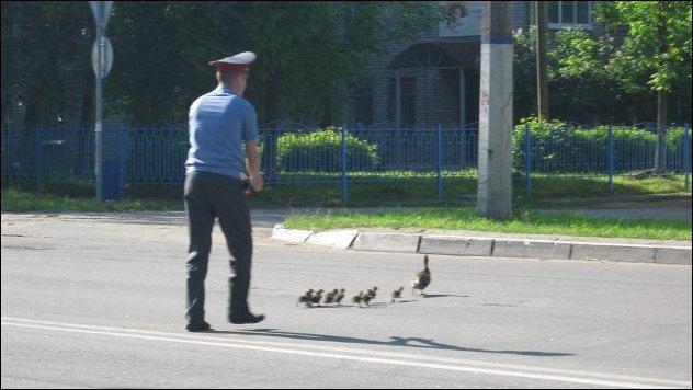 Дикая утка переходит дорогу