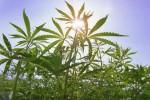 Власти мексиканской Тихуаны конфисковали 13 тонн марихуаны