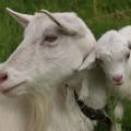 синяя деревянная коза