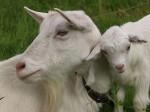 В чем встретить год козы?