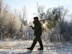 В Башкирии срубят 143 000 ёлок