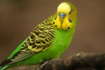 Что необходимо знать, перед тем как купить волнистых попугайчиков